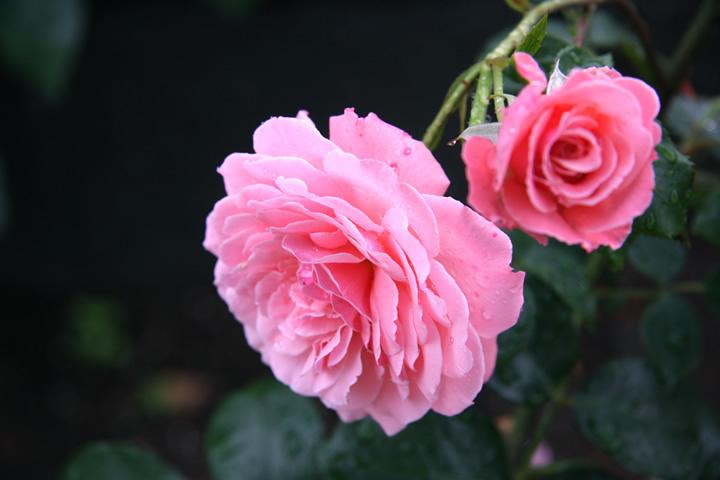 rose_050.jpg